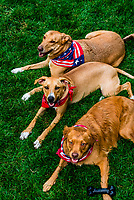 "Best dog friends, known as ""The Three Amigos"" dressed up for Fourth of July, Littleton, Colorado USA."