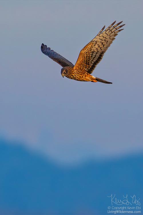 A red-tailed hawk (Buteo jamaicensis) hunts while flying near Edison, Washington.