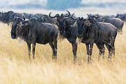 Blue wildebeest (Connochaetes taurinus) standing in the rain, Masai Mara, Kenya