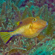 Sharpnose Puffer swim about reefs and seagrass beds in Tropical West Atlantic; picture taken Bequia, Grenadines.