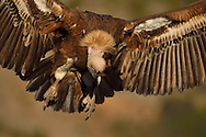 Eurasian Griffon vulture, Gyps fulvus, at wildlife watching and vulture feeding site, Pre-Pyrenees, Catalonia, Spain