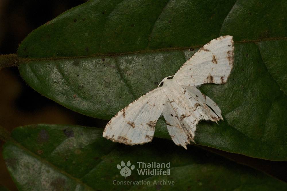 Uraniidae moth, Epipleminae, Dysaethria cretacea. Khao Yai National Park, Thailand.