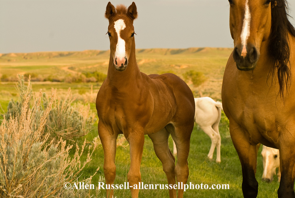 Quarter Horses, mare with sorrel foal