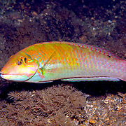 Blackear Wrasse inhabit sea grass beds and shallow reefs in Tropical West Atlantic; picture taken Blue Heron Bridge, Palm Beach, FL.