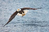 Bald Eagle in flight and catching fish, Homer, Alaska, Haliaetus leucocephalus