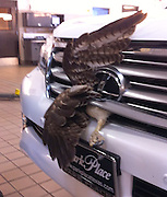 "Oct 15, 2011 - Grapevine, Texas, USA - One lucky hawk defied the odds by surviving a head-on collision with a Lexus - at 60 mph. Auto mechanic Matt Whitehead has seen plenty of cars come in for repairs at the Lexus dealership in Grapevine, Texas after slamming into ""small birds, rodents, squirrels, reptiles - anything but fish,"" he says. When a customer pulled into his service bay with a bird of prey stuck in the car's grille, Whitehead was expecting it would be another case of road kill. ""Every bird we've ever seen hit a car has died,"" he explains. However, closer inspection revealed the raptor was still alive and Whitehead, with help from fellow mechanics, was able to release it from the wreckage. ""It wasn't even missing a feather,"" marvels Whitehead. The bird, a juvenile red-tailed hawk, was too stunned to fly, so Whitehead wrapped it in a blanket and drove it to a nearby veterinarian. A few weeks later, it had fully recovered from a concussion and some internal injuries and was released back into the wild.<br /> (Credit Image: © Park Place Lexus/Exclusivepix)"