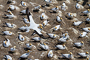 Breeding is highly seasonal (Oct - May), with nesting on the ground in small but dense colonies. Adults tend to stay within the vicinity of the colony after breeding.  The Australasian Gannet has established three mainland colonies in New Zealand, at Muriwai, Farewell Spit, and Cape Kidnappers.