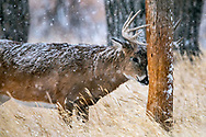 Mature whitetail buck rubs his antlers on a telephone pole in snowy autumn habitat.
