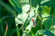 caterpillar of the Ocnogyna loewii moth on a leaf. Photographed in Israel in February. Ocnogyna loewii is a moth of the family Erebidae. It was described by Zeller in 1846. It is found in Asia Minor, Near East, Armenia, Azerbaijan, Daghestan, southern Uzbekistan, south-western Tajikistan, northern Iran and Afghanistan. The larvae feed Achillea, Chrysanthemum, Cirsium, Onopordum and Trifolium species.