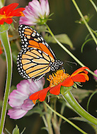 A Monarch Butterfly On An Orange Flower And Surrounded By Flowers, Danaus plexippus