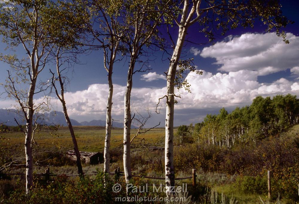 Aspen, old log cabin, and Grand Teton National Park