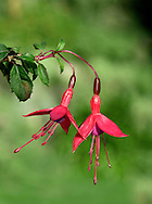 FUCHSIA Fuchsia magellanica (Onograceae) Height to 1.5m<br /> Deciduous, much-branched shrub. Favours rocky ground and rough slopes, often coastal. FLOWERS are 2cm long and bell-shaped, with red sepals and violet petals; pendent, on slender stalks ((Aug-Oct). FRUITS are black berries. LEAVES are ovate. STATUS-Introduced for hedging; naturalised locally, mainly in W Britain and SW Ireland