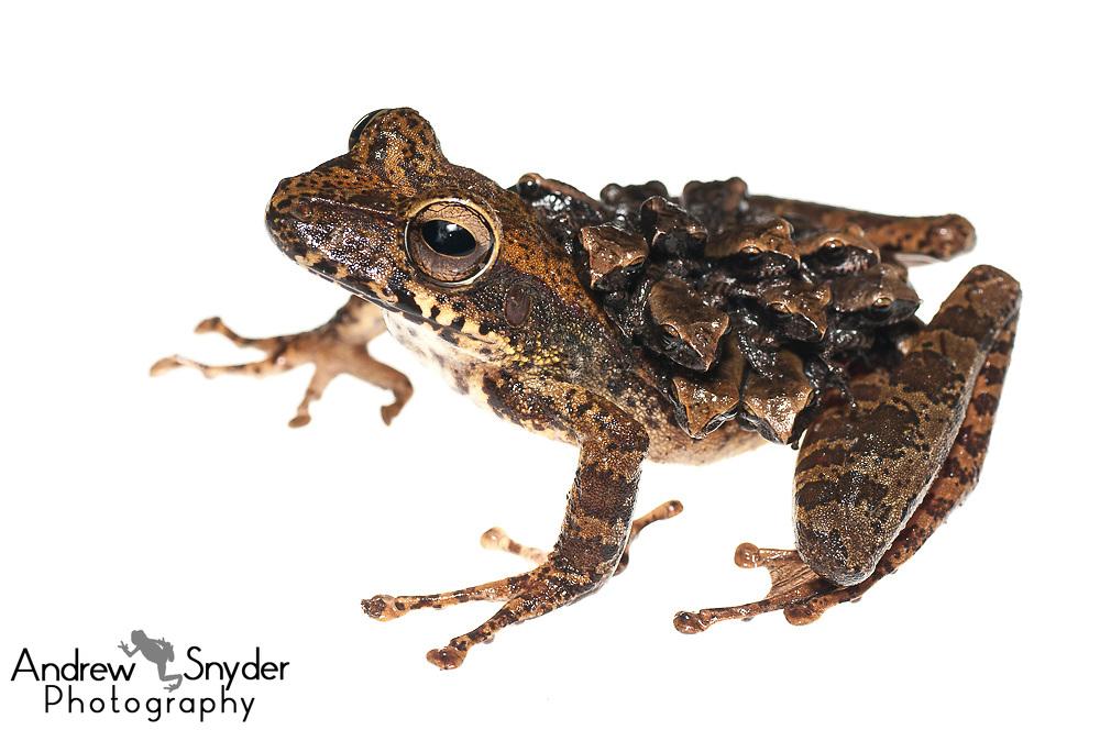 Groete Creek Carrying Frog, Stefania evansi, Chenapau, Guyana, March 2014
