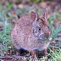 Marsh Rabbit eating vegetation in Ding Darling Wildlife Refuge Florida