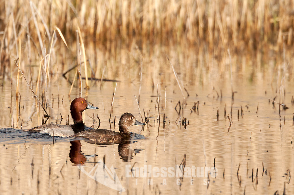 April is nesting season this pair of Redhead ducks swims together in a marsh pond close to their nest.