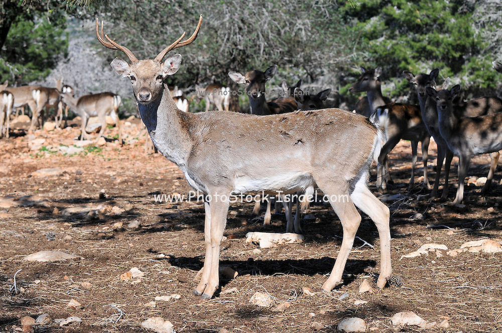 Israel, Carmel Mountains, Male Persian Fallow Deer (Dama dama Mesopotamica) Endangered species. This specimen is part of a breeding nucleus for reintroducing this species back to nature. Photographed in Israel in December