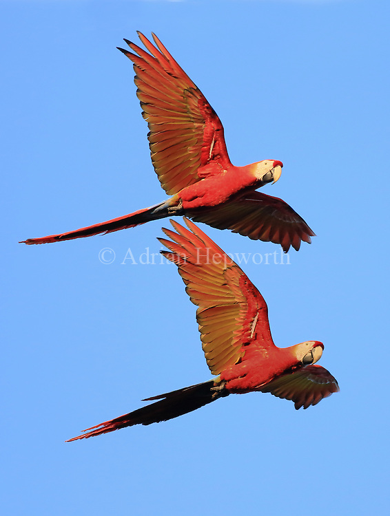 Scarlet Macaw pair (Ara macao) flying. Corcovado National Park, Osa Peninsula, Costa Rica. <br />