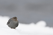 American Dipper (Cinclus mexicanus) in winter, Yellowstone National Park, Wyoming