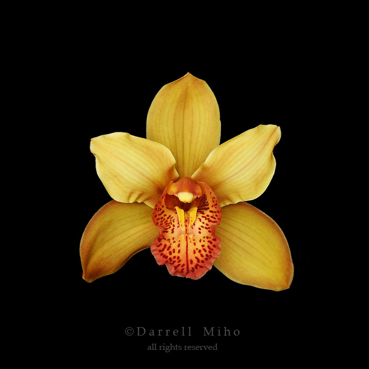 yellow and orange cymbidium orchid on black background.<br /> <br /> &copy; Darrell Miho