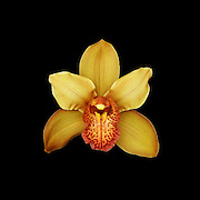 yellow and orange cymbidium orchid on black background.<br />