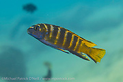 Pseudotropheus elongatus, a common mbuna found on rocky reefs around Likoma Island, Lake Malawi, Malawi, Africa.