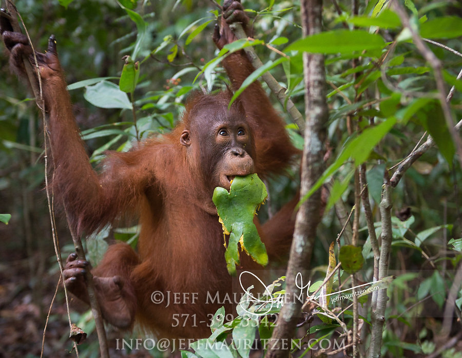 A young Bornean orangutan, Pongo pygmaeus eats a mango in the forest in Tanjung Puting National Park on the island of Borneo, Indonesia.