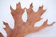 Northern Pin Oak (Quercus ellipsoidalis) leaf on melting snow