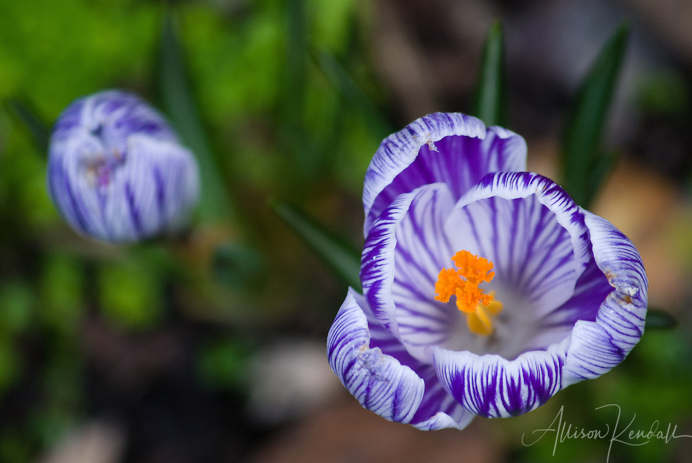 Vivid purple and white crocus flowers emerge in the early spring garden