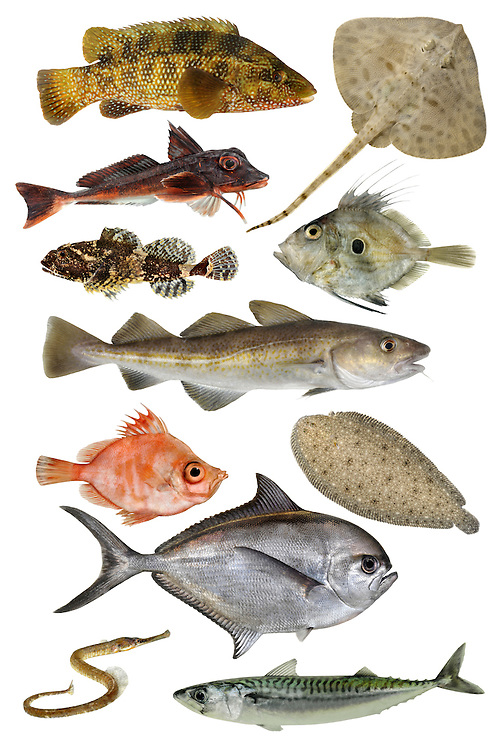 From top to bottom, left to right: Ballan Wrasse, Thornback Ray, Red Gurnard, Bull Rout, John Dory, Cod, Boarfish, Sole, Ray's Bream, Greater Pipefish, Mackerel
