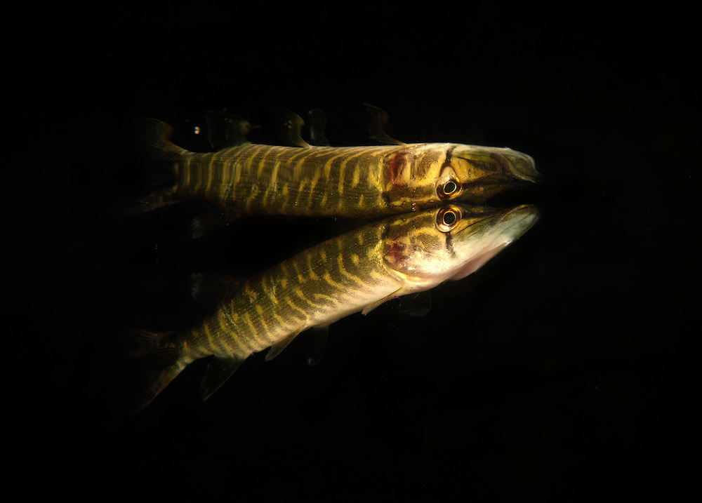 Northern pike (Esox lucius) resting at the surface at night, Danube Delta, Romania. A well spread predator of brackish and freshwaters of the northern hemisphere.