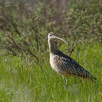 Long billed curlew foraging at Red Rock Lakes National Wildlife Refuge, Montana.