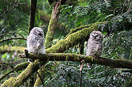 Barred Owl (Strix varia) fledgling in the midst of a begging call while its sibling looks on. Barred Owl owlets can be fed by parents for months after leaving the nest while they learn to hunt for themselves. An adult was heard hooting nearby but did not visit the owlets while I was there.  Photographed at Campbell Valley Park in Langley, British Columbia, Canada.