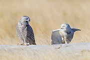 Two snowy owls (Nyctea scandiaca) rest on a log at Damon Point in Ocean Shores, Washington; one appears to yawn while the other stretches one of its wings. Snowy owls, which spend the summer in the northern circumpolar region north of 60 degrees latitude, have a typical winter range that includes Alaska, Canada and northern Eurasia. Every several years, for reasons still unexplained, the snowy owls migrate much farther south in an event known as an irruption. During one irruption, a snowy owl was found as far south as the Caribbean. During the 2011-2012 irruption, Ocean Shores on the Washington coast was the winter home for an especially large number of snowy owls. Snowy owls tend to prefer coastal and plains areas, which most resemble the open tundra that serves as their typical home.