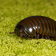 A pill millipede of the order Sphaerotheriida walking on a moss covered forest floor.