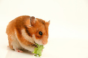 Cutout of a curious hamster eats lettuce on white background