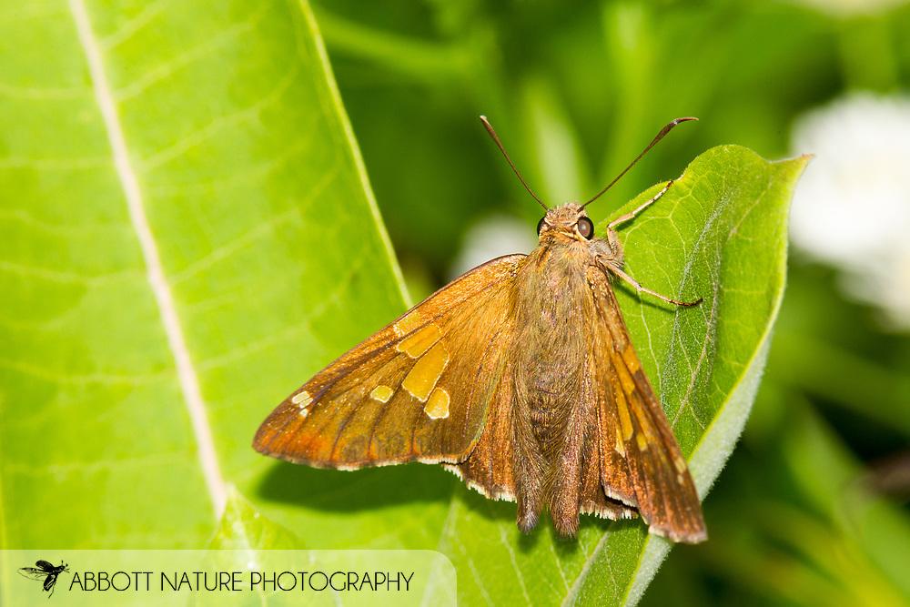 Silver-spotted Skipper (Epargyreus clarus)<br /> WEST VIRGINIA: Greenbrier Co.<br /> Summit Lake @ Cranberry Wildlife Management Area<br /> 25.June.2015<br /> J.C. Abbott #2753 &amp; K.K. Abbott