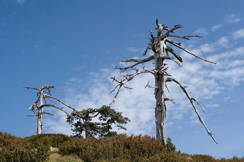 Greece, Pindos Mountains, Pindos NP, Valia Calda, old dry pine trees (Pinus thunbergii)  on top of the hill