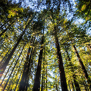 Sunshine in the redwoods forests of Humboldt County, California.
