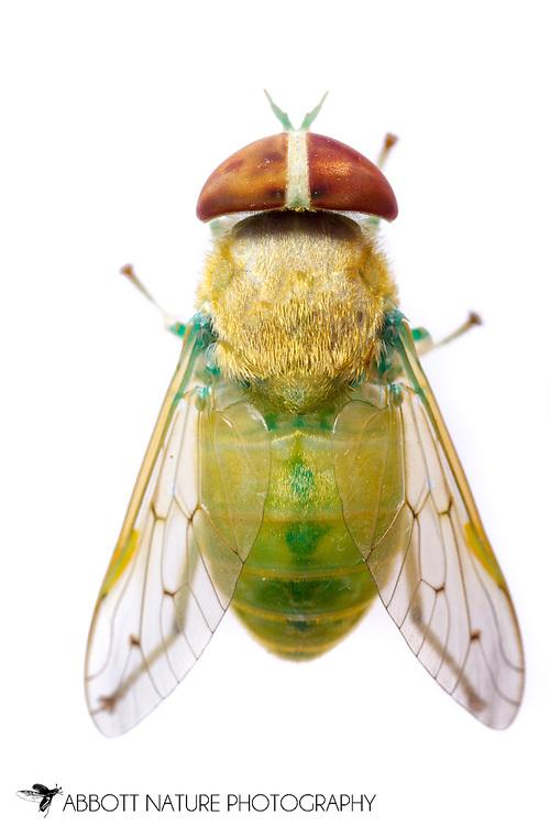 Horse Fly (Chlorotabanus crepuscularis) - female<br /> TEXAS: Jasper Co.<br /> Brookeland/Lake Sam Rayburn KOA @ 505 Co Rd 212<br /> 9.June.2015<br /> J.C. Abbott #2739 &amp; K.K. Abbott