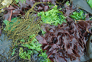 Green, Brown, and Red Algae (Seaweed), Ulva, Macrocystis, Sargassum , Botryoglossum, Intertidal Washington, Olympic National Park