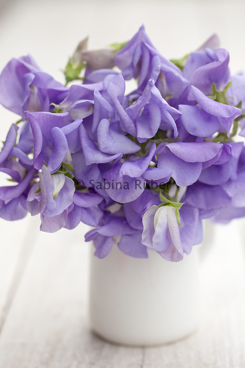 Lathyrus odoratus 'Flora Norton' - sweet pea