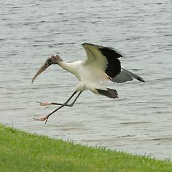 Wood Stork (Mycteria americana), Vero Beach, Florida, US
