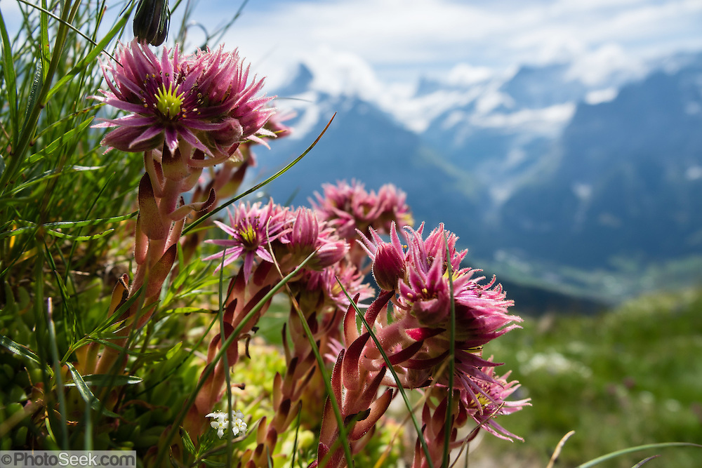 Mountain Houseleek, Sempervivum montanum, has pink star-staped flowers on red and green stalks, growing close to the ground often on rocks. Photographed near Bussalp, under the Faulhorn, Grindelwald, canton of Bern, Switzerland, the Alps, Europe.