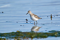 Sanderling (Calidris alba) foraging along edge of shoreline, Crescent Beach, Nova Scotia, Canada