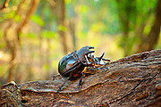 Rhinoceros beetles are herbivorous insects named for the horn-like projections on and around the heads of males. Most are black, gray, or greenish in color, and some are covered in soft hairs. Another name given to some of these insects is Hercules beetle, because they possess strength of a herculean proportion. Adults of some species can lift objects 850 times their weight! That would be equivalent to a human lifting 9 fully grown male elephants! One of the uses for extreme strength is for the beetles to dig themselves into leaf litter and soil to escape danger. Their horns also help them to do this.