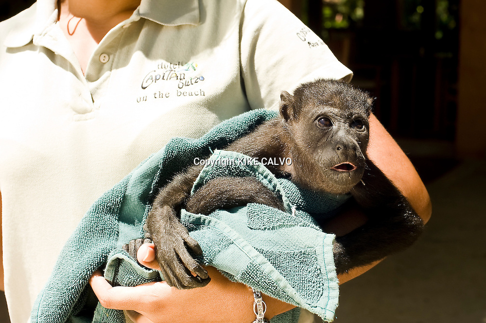 """Tamarindo, a beach town first made famous by """"Endless Summer."""" The 1966 film drew international surfers, who in turn made it the condo heaven..Pictured: Baby howler monkey ( Allouata palliata ) at Capitan Suizo Hotel. Owner Ursula Schmid takes care of injured animals. The hotel doesn't use any pesticides in the garden and thanks to the protected old trees the hotel is often visited by wildlife such as howler monkeys, squirrels, a wide variety of birds, racoons, garrobos, iguanas and armadillos. B1276"""