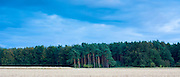 Evergreen coniferous forest of tall conifer and larch trees in the Cotswolds, UK