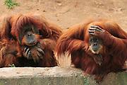 two Orangutans, Pongo pygmaeus