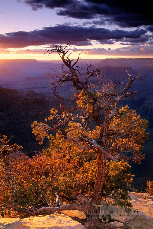 Sunset light on pine tree at Yavapai Point, South Rim, Grand Canyon National Park, Arizona