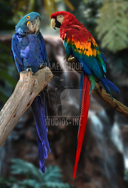 hyacinth macaw and red and gold macaw parrots
